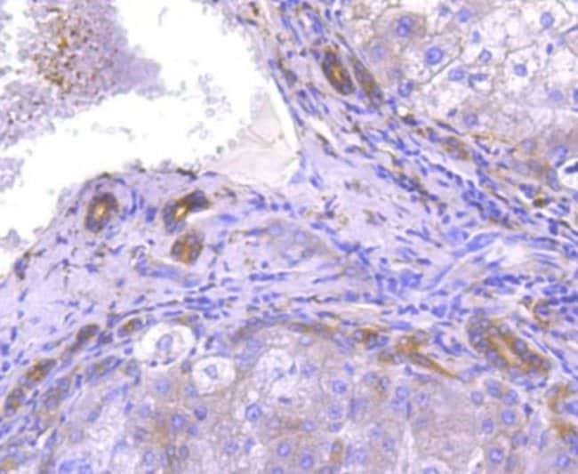 ATG7 Rabbit anti-Human, Clone: SC06-30, Novus Biologicals 100µL
