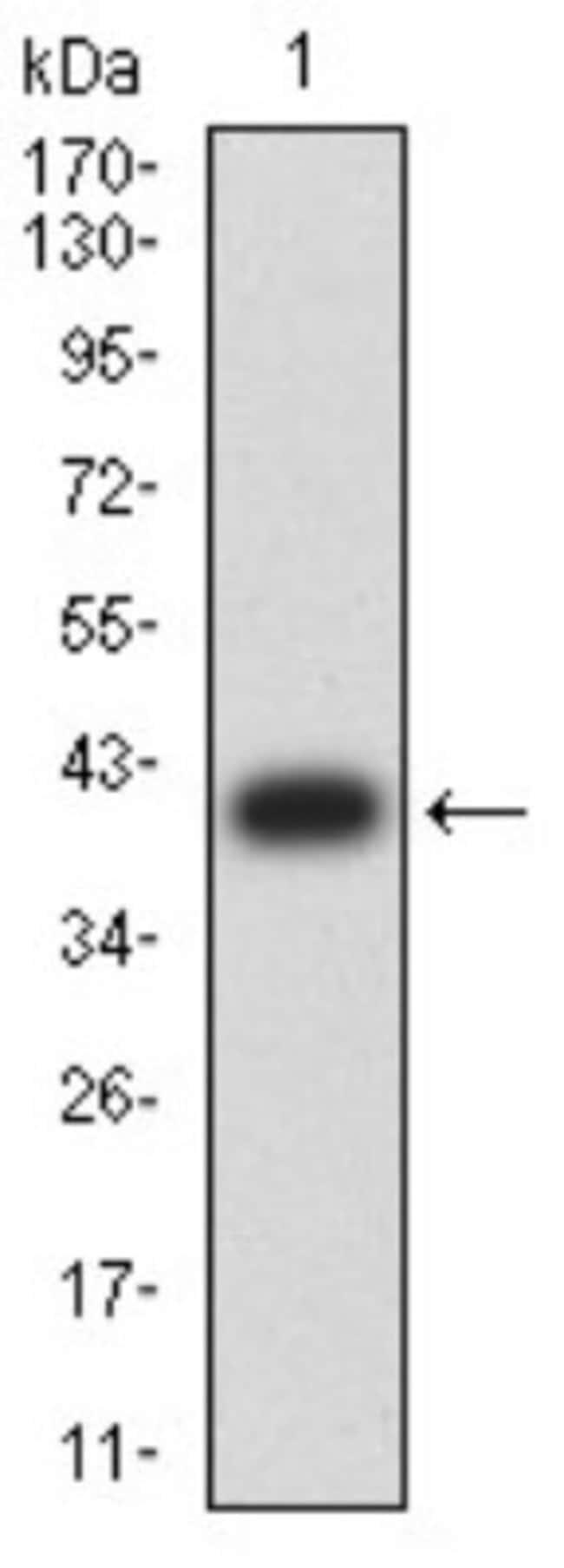 Aldolase A Mouse anti-Human, Mouse, Clone: 1C5B2, Novus Biologicals 0.1