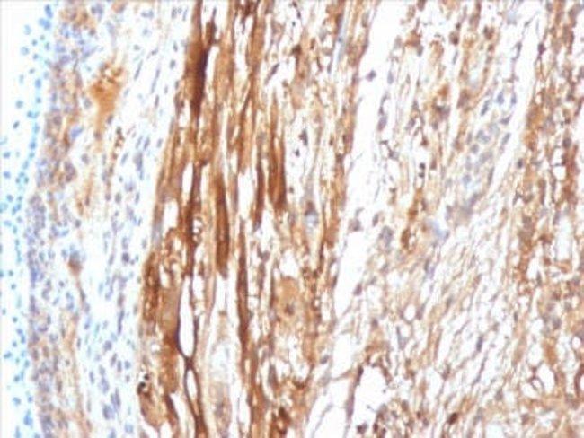 AlphaB Crystallin/CRYAB Mouse anti-Human, Rat, Clone: CPTC-CRYAB-1, Novus