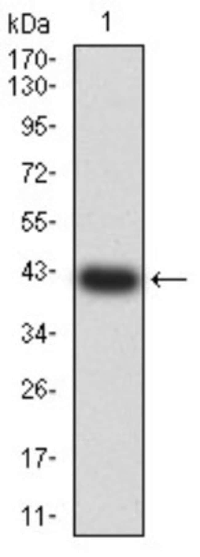 BCL9-2 Mouse anti-Human, Clone: 3B9C1, Novus Biologicals 0.1 ml; Unconjugated