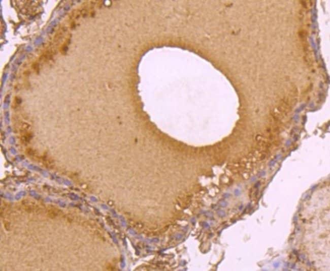 C14orf93 Mouse anti-Human, Mouse, Clone: 2-F6, Novus Biologicals 100 µl;