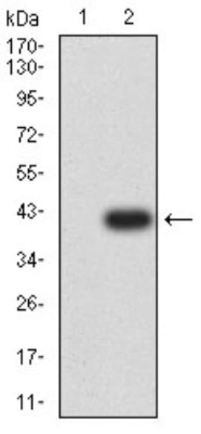 CCR3 Mouse anti-Human, Clone: 8E9H10, Novus Biologicals 0.1 ml; Unconjugated