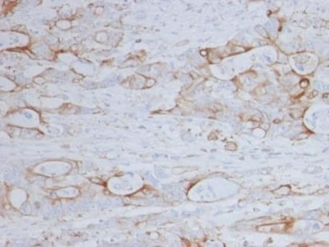 CD151 Mouse anti-Human, Clone: 11G5a, Novus Biologicals:Antibodies:Primary