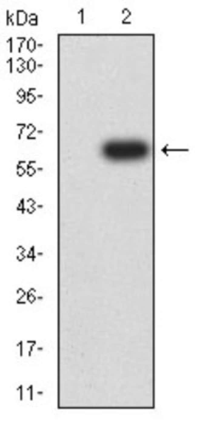 CD1c/BDCA-1 Mouse anti-Human, Clone: 3G1B3, Novus Biologicals 0.1 ml; Unconjugated