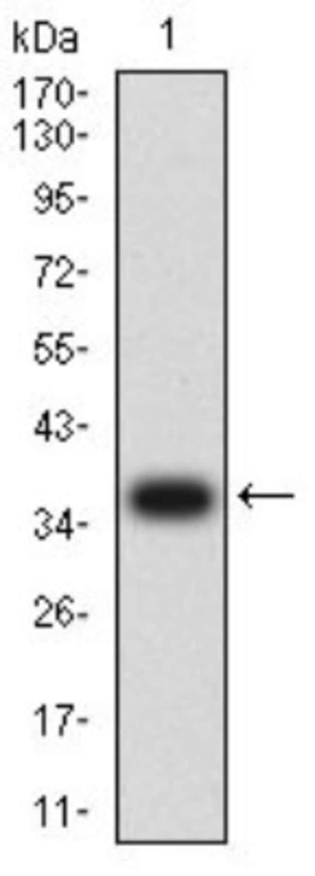 CD3 gamma Mouse anti-Human, Clone: 5B7F9, Novus Biologicals 0.1 ml; Unconjugated