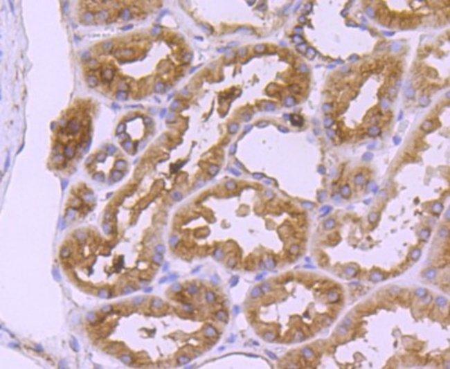 CD90/Thy1 Rabbit anti-Human, Rat, Clone: JF10-09, Novus Biologicals 100µL