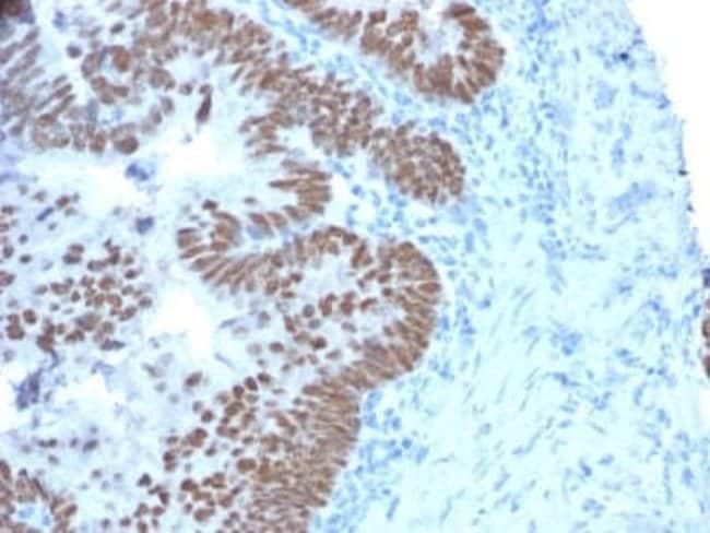 CDX2 Mouse anti-Human, Clone: CDX2/2214, Novus Biologicals:Antibodies:Primary