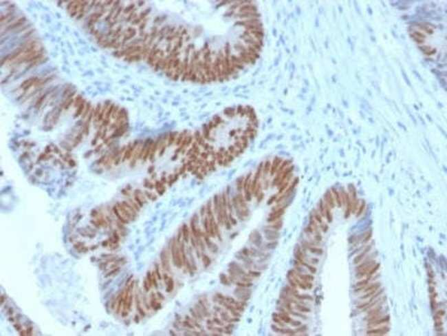 CDX2 Rabbit anti-Human, Clone: CDX2/2951R, Novus Biologicals:Antibodies:Primary