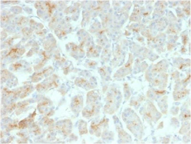 CFTR Mouse anti-Human, Mouse, Clone: rCFTR/1342, Novus Biologicals:Antibodies:Primary