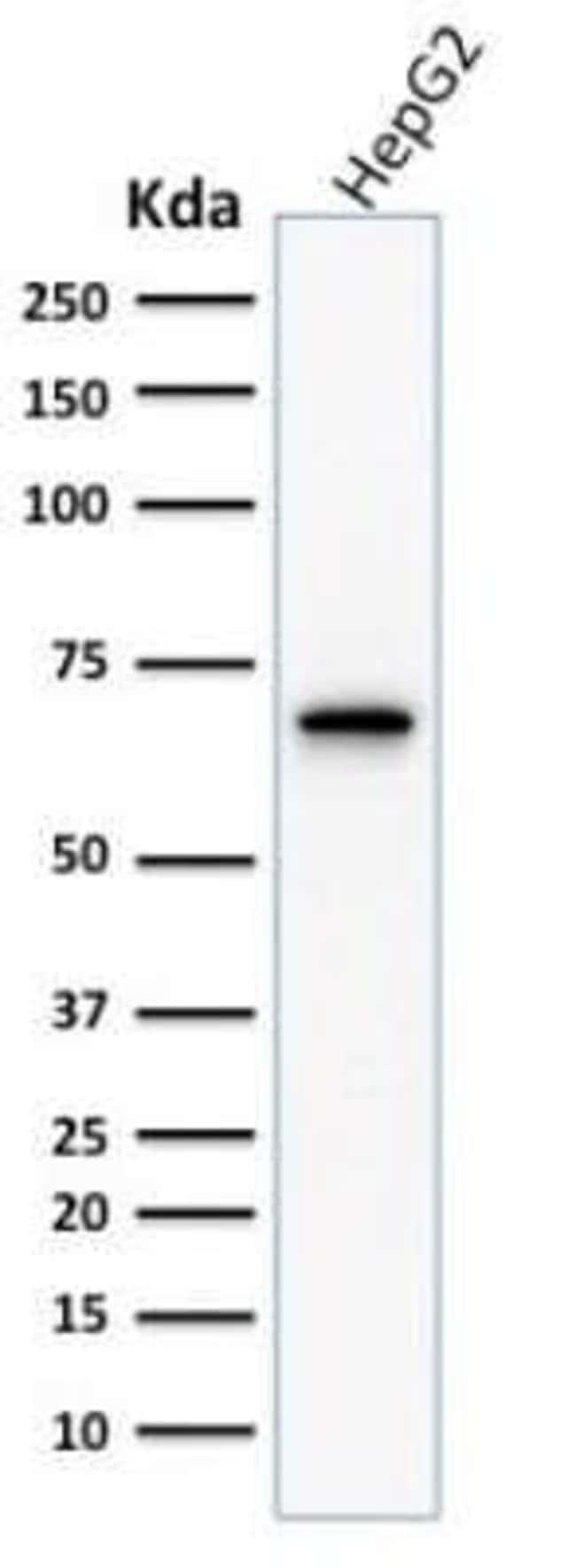 COX-2 Mouse anti-Human, Clone: COX2/1941, Novus Biologicals:Antibodies:Primary