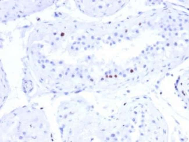 CSTF2T Mouse anti-Human, Clone: PCRP-CSTF2T-1A3, Novus Biologicals:Antibodies:Primary