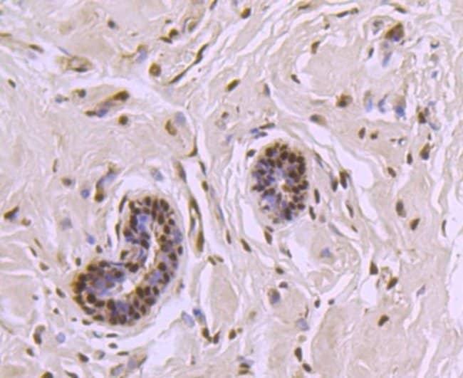 CTCF Rabbit anti-Human, Clone: JM10-61, Novus Biologicals 100μL