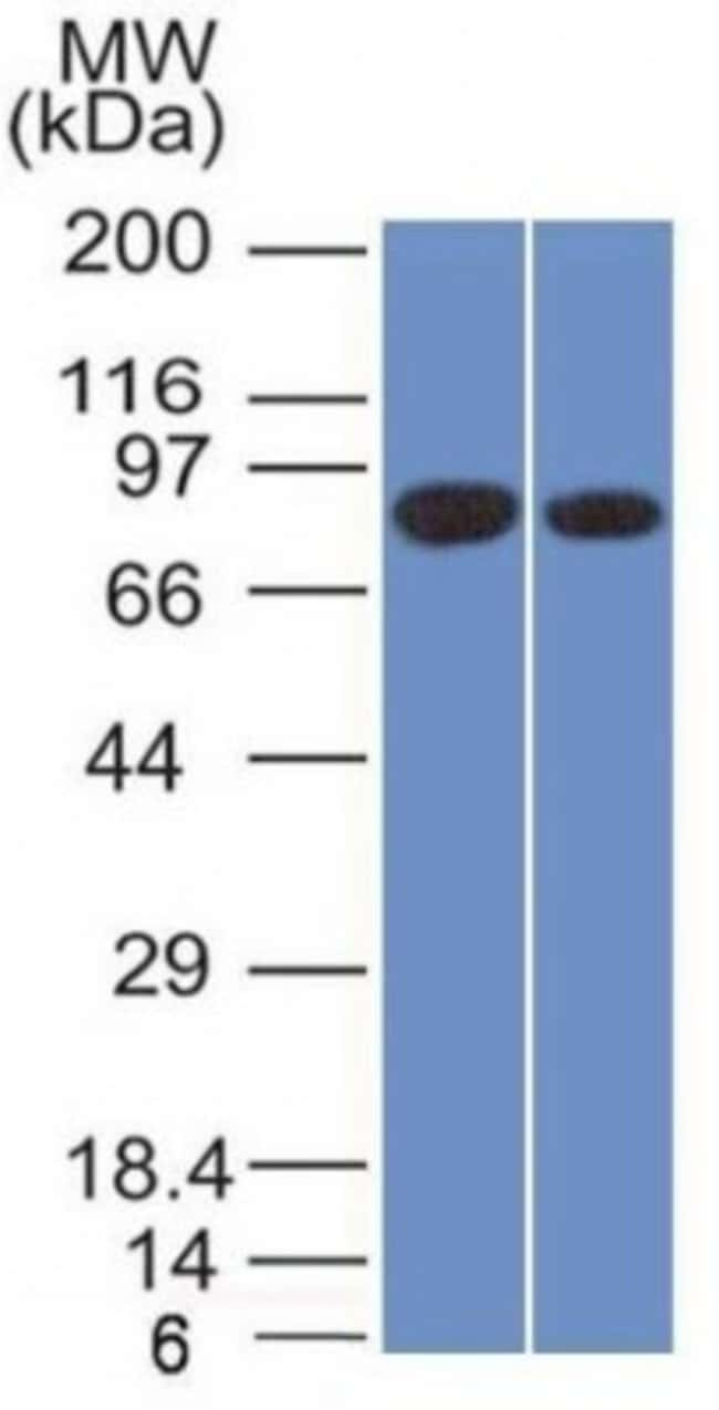 Calnexin, Mouse anti-Human, Clone: CANX/1543, Novus Biologicals:Antibodies:Primary