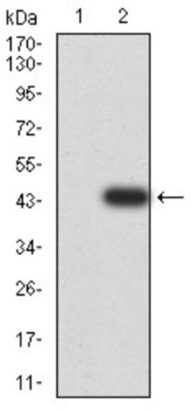 Calretinin Mouse anti-Human, Monkey, Clone: 7H1G3, Novus Biologicals 0.1