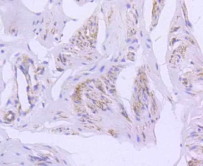 Caveolin-2 Rabbit anti-Human, Clone: SY22-05, Novus Biologicals 100μL