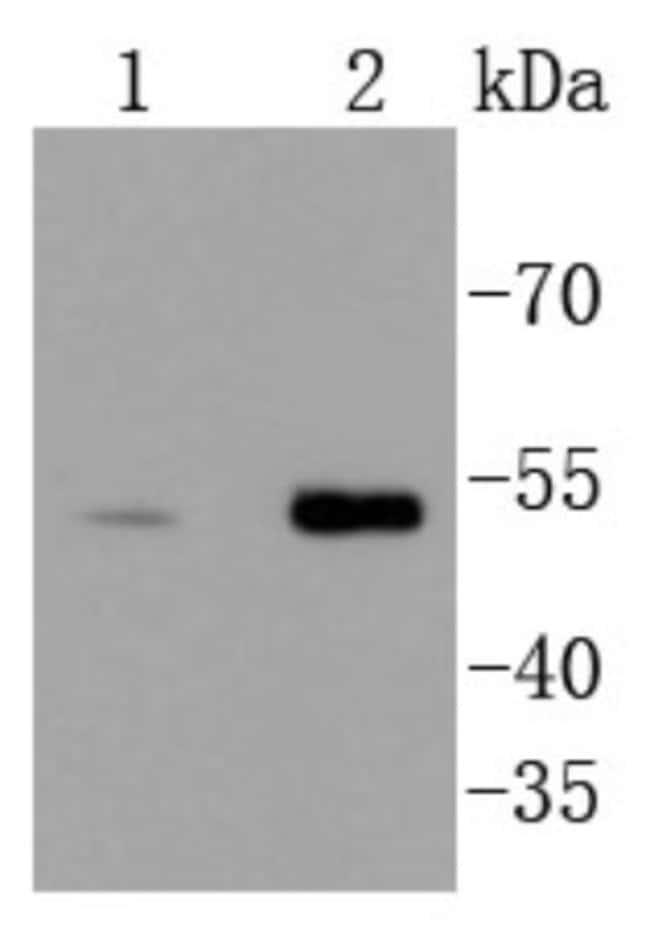 Chk1 Rabbit anti-Human, Mouse, Clone: ST57-09, Novus Biologicals 100μL:Antibodies