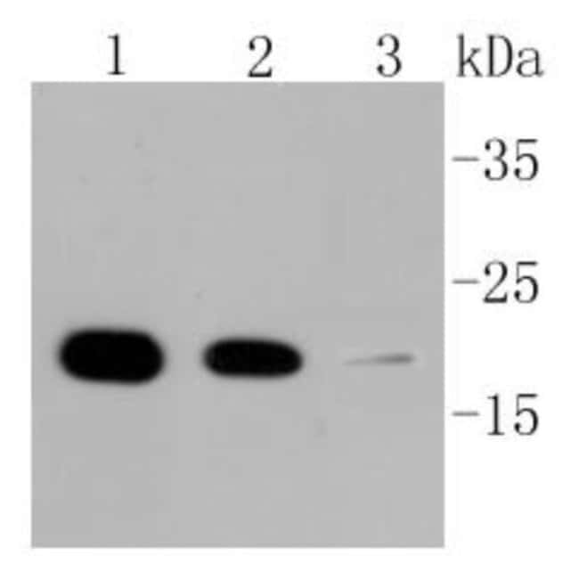CyclophilinB Rabbit anti-Human, Clone: ST05-22, Novus Biologicals 100µL