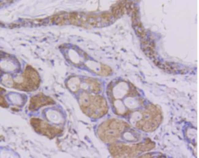 Cytochromec Rabbit anti-Human, Clone: SC59-01, Novus Biologicals 100μL:Antibodies
