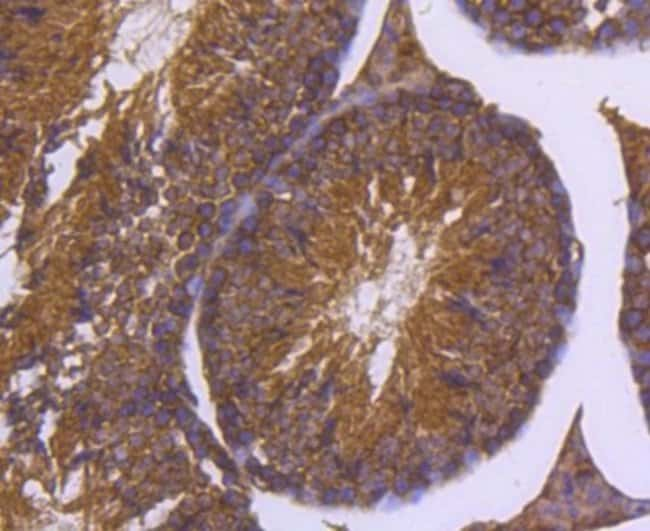 DNAJC15 Rabbit anti-Human, Clone: SY26-04, Novus Biologicals 100µL