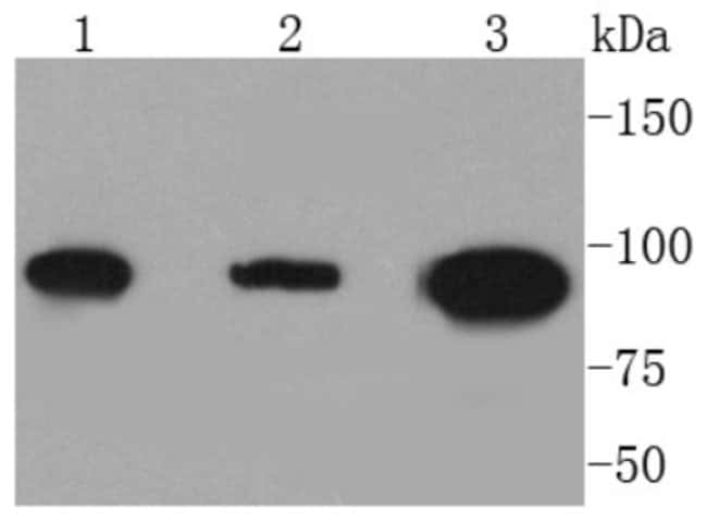 DNMT3B Rabbit anti-Human, Clone: SY09-07, Novus Biologicals 100μL:Antibodies