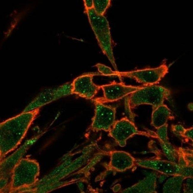 Daxx Mouse anti-Human, Clone: PCRP-DAXX-8B7, Novus Biologicals:Antibodies:Primary