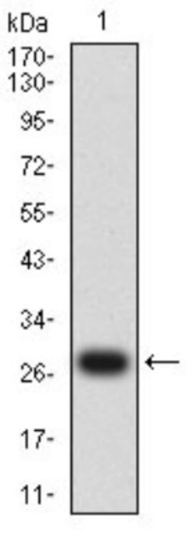 Dynamin 2 Mouse anti-Human, Clone: 3F5F3, Novus Biologicals 0.1 ml; Unconjugated