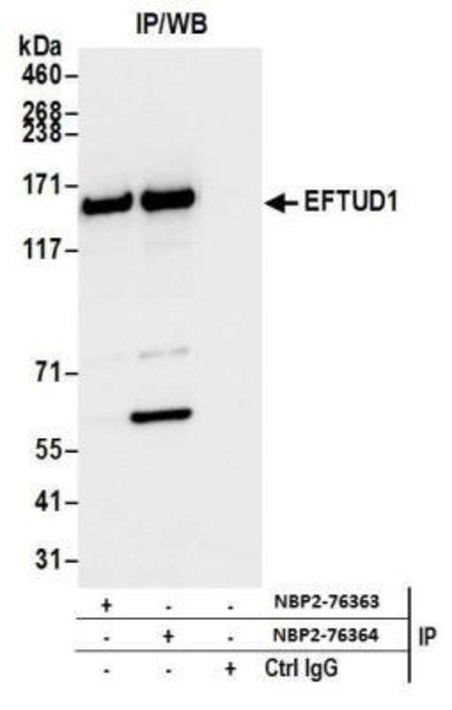 EFTUD1 Rabbit anti-Human, Polyclonal, Novus Biologicals 100 µL; Unconjugated;