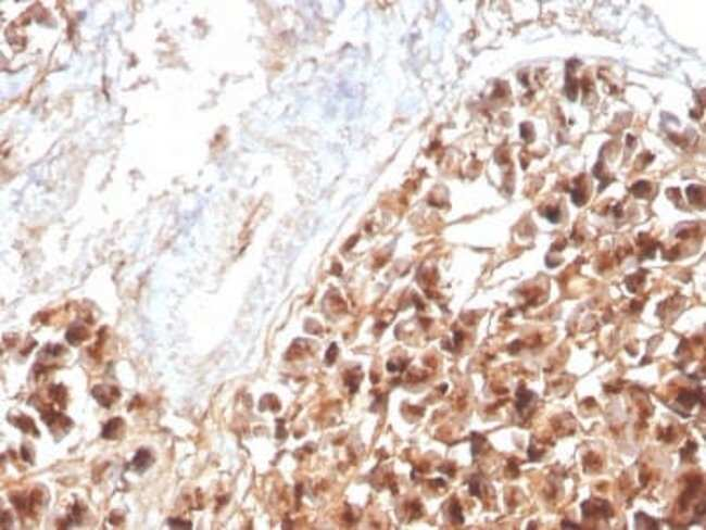 EPX Mouse anti-Human, Clone: rEPO104, Novus Biologicals:Antibodies:Primary