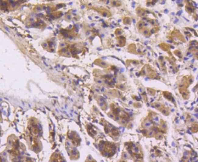 ERK1/2 Rabbit anti-Human, Mouse, Clone: SP05-09, Novus Biologicals 100μL:Antibodies