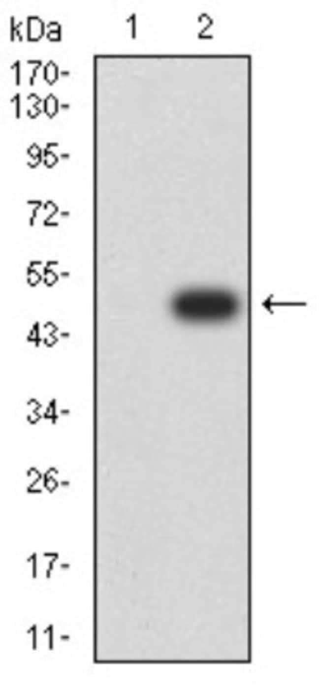 ERR alpha/NR3B1 Mouse anti-Human, Rat, Clone: 6F1E6, Novus Biologicals