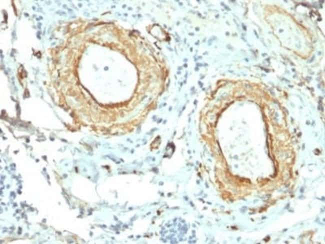 Elastin Mouse anti-Human, Clone: ELN/2069, Novus Biologicals:Antibodies:Primary