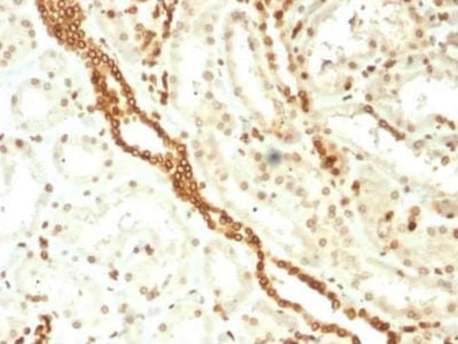 Emerin Mouse anti-Human, Clone: EMD/2168, Novus Biologicals:Antibodies:Primary
