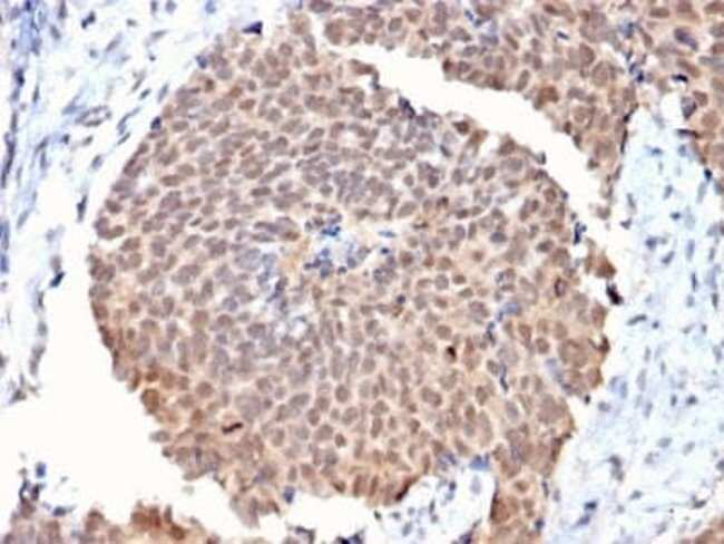 FAF1 Mouse anti-Human, Clone: CPTC-FAF1-2, Novus Biologicals:Antibodies:Primary