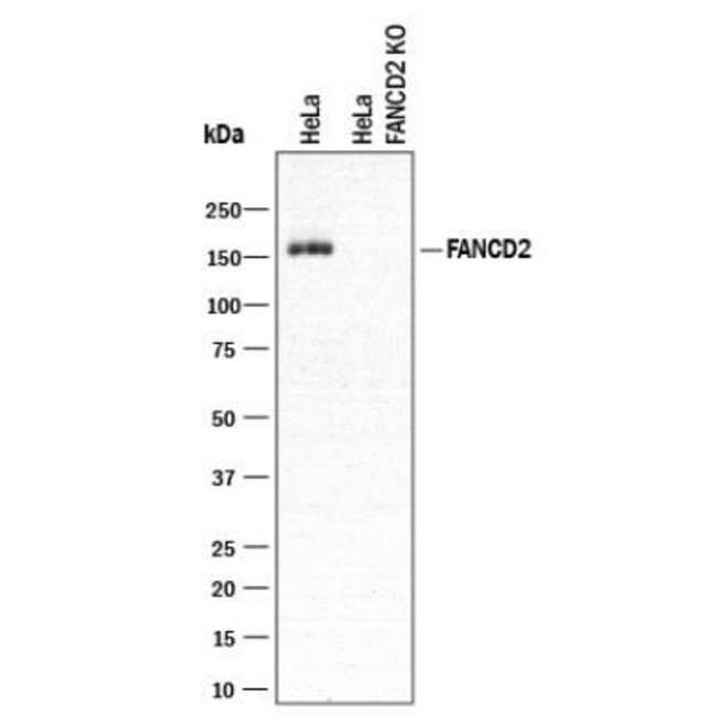 FANCD2 Rabbit anti-Human, Clone: 1290C, Novus Biologicals 0.1mg