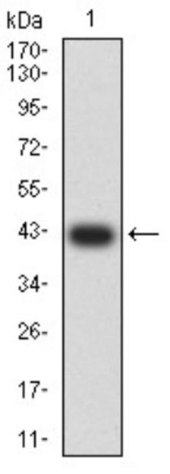 GluR7/GRIK3 Mouse anti-Human, Clone: 2B3D1, Novus Biologicals 0.1 ml; Unconjugated:Antibodies