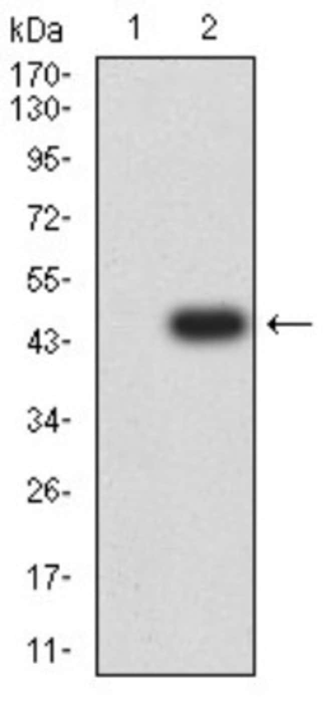 GluR7/GRIK3 Mouse anti-Human, Clone: 2B4H1, Novus Biologicals 0.1 ml; Unconjugated