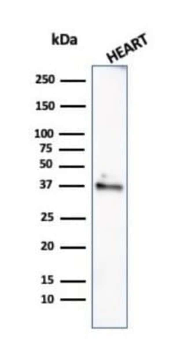 H1F0 Mouse anti-Human, Mouse, Rat, Clone: rAE-4, Novus Biologicals:Antibodies:Primary