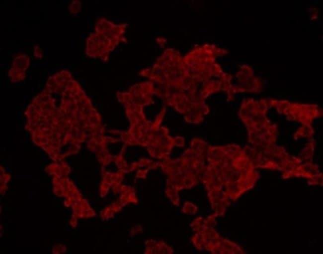 HADH Mouse anti-Human, Clone: D10-E7, Novus Biologicals 100µL