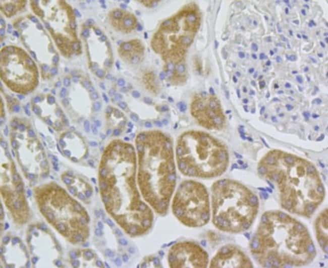 HEATR8 Mouse anti-Human, Clone: A5-D4-A6, Novus Biologicals 100µL