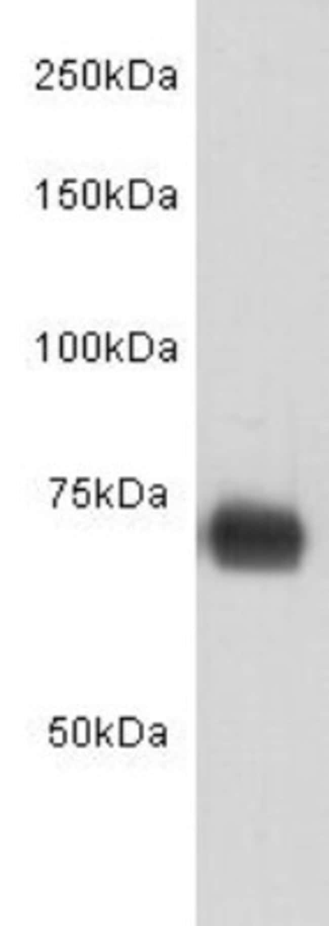 HumanSerumAlbumin Mouse anti-Human, Clone: 8-A3, Novus Biologicals 100µL
