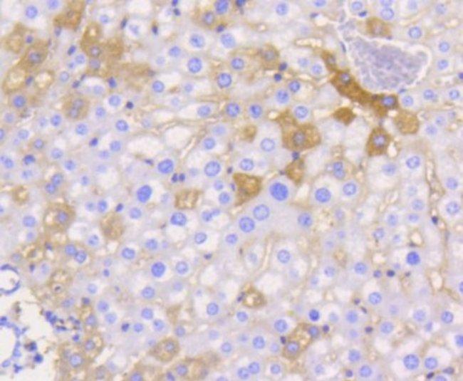 JAM-A Rabbit anti-Human, Clone: SC60-07, Novus Biologicals 100μL:Antibodies