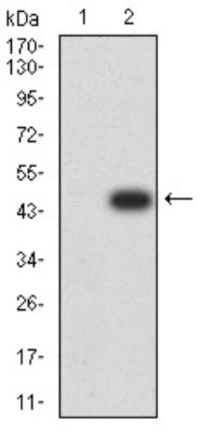 JNK3 Mouse anti-Human, Rat, Clone: 2B10H12, Novus Biologicals 0.1 ml; Unconjugated