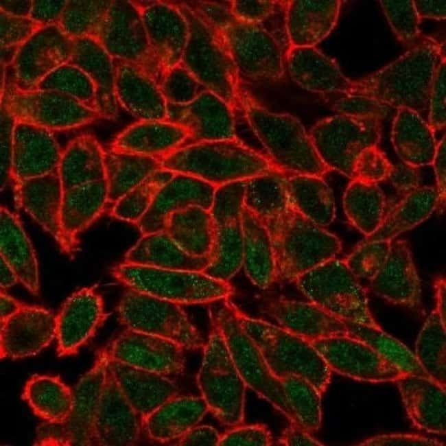 JunB/AP-1 Mouse anti-Human, Clone: PCRP-JUNB-3G2, Novus Biologicals:Antibodies:Primary