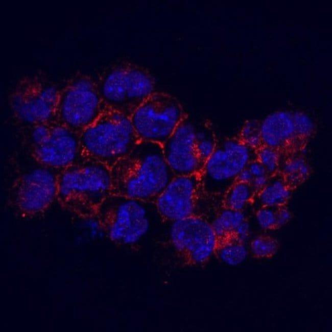 KIDINS220 Mouse anti-Human, Clone: 3-B6, Novus Biologicals 100µL