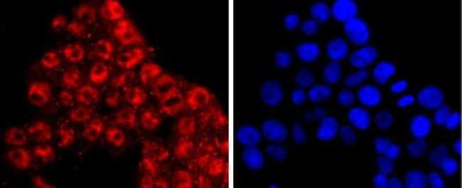 KLF4 Rabbit anti-Human, Clone: JF98-08, Novus Biologicals 100μL:Antibodies
