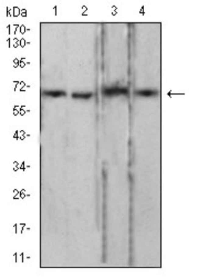 Lamin B2 Mouse anti-Human, Clone: 2E2F4, Novus Biologicals 0.1 ml; Unconjugated:Antibodies
