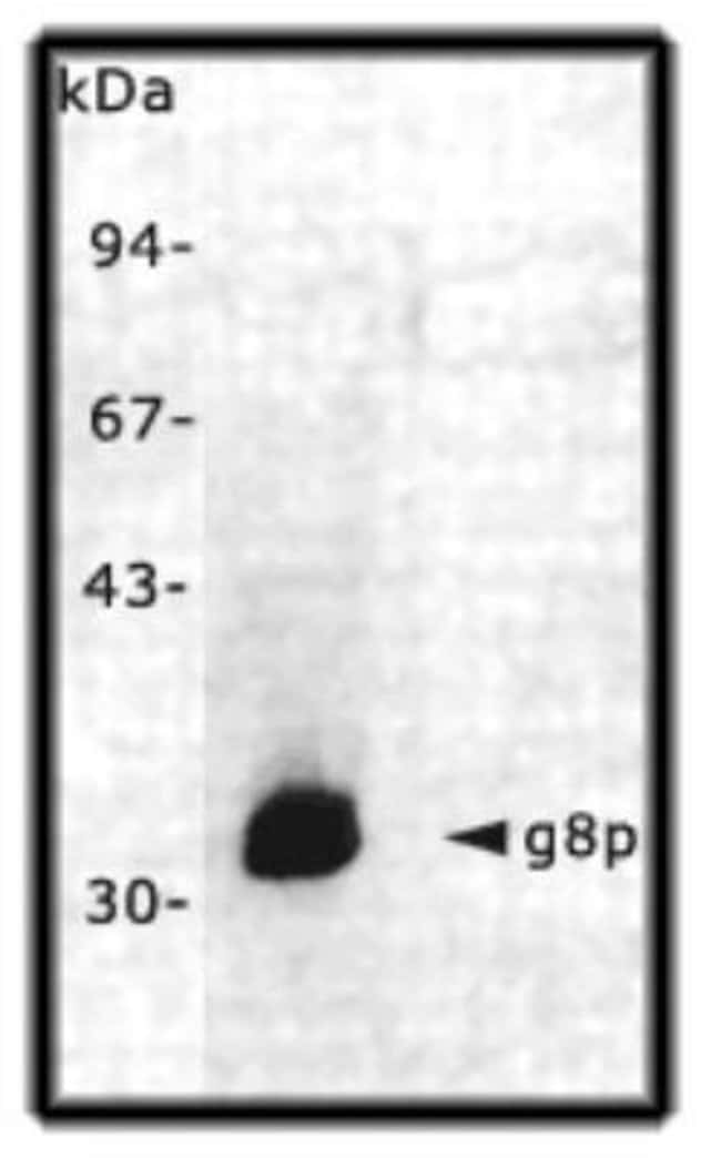 M13BacteriophageProteing8p Mouse anti-Virus, Clone: RL-ph2, Novus Biologicals
