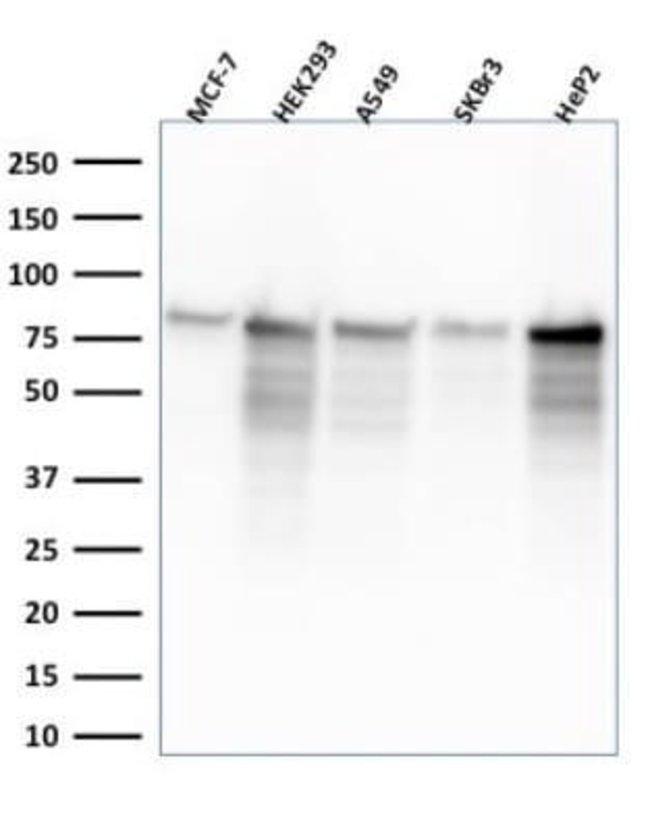 MCM7 Rabbit anti-Human, Clone: MCM7/2832R, Novus Biologicals:Antibodies:Primary