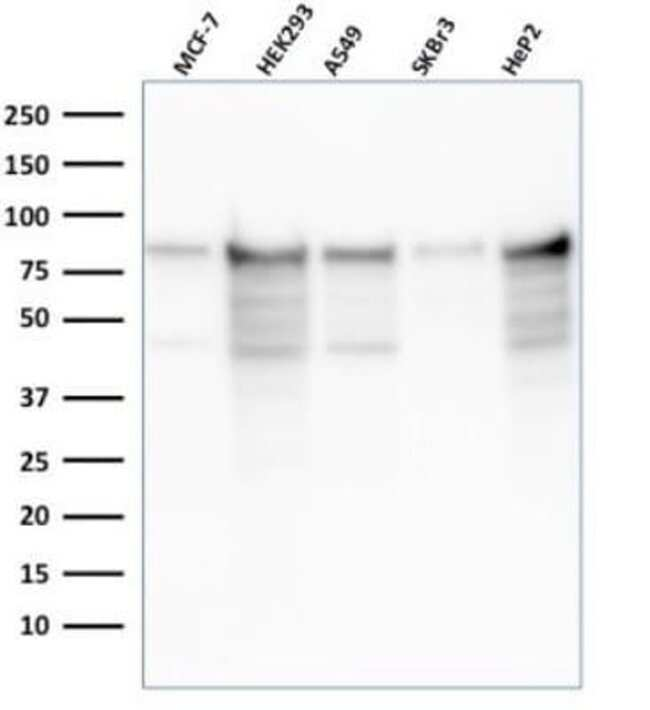 MCM7 Mouse anti-Human, Clone: rMCM7/1468, Novus Biologicals:Antibodies:Primary