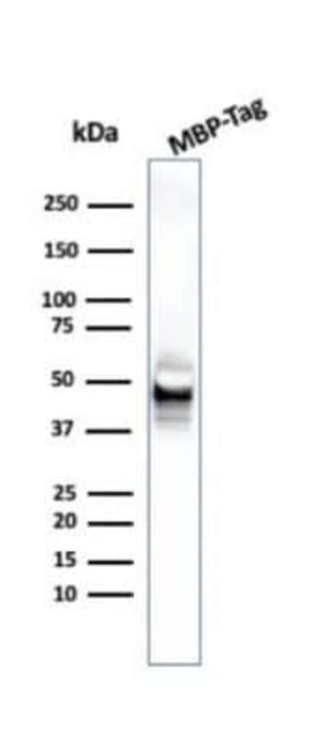 Maltose Binding Protein Mouse anti-E. coli, Clone: R29.6, Novus Biologicals:Antibodies:Primary